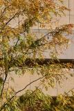 Locust Tree Foliage & NYU Student Center Building Wall