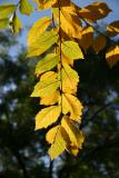 Elm Tree Foliage