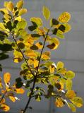 Smoke Tree Foliage