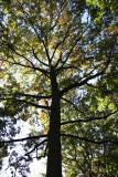 Pin Oak or Quercus palustris