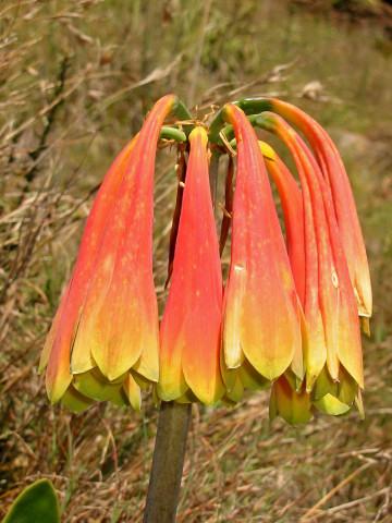 Cyrtanthus obliquus, Amaryllidaceae