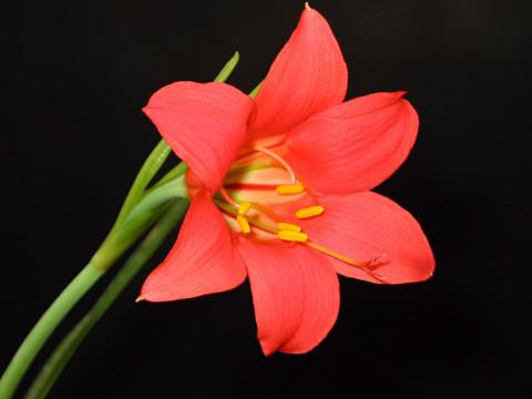 Cyrtanthus sanguineus, Amaryllidaceae