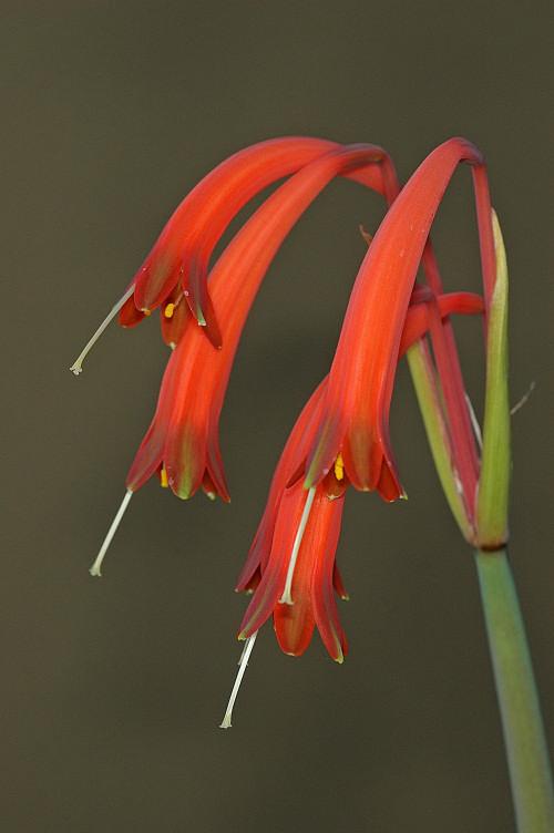 Cyrtanthus tuckii var viridilobus, Amaryllidaceae