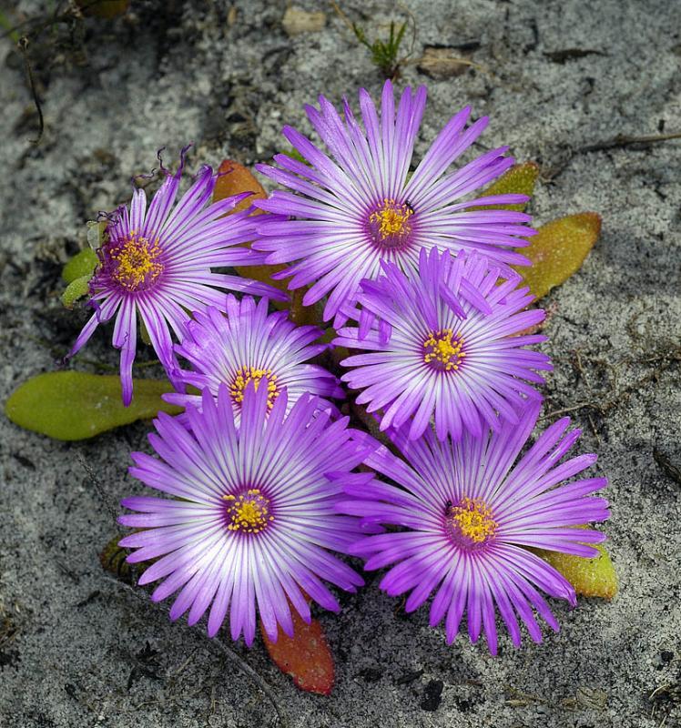 Dorotheanthus bellidiformis (Bokbaaivygie), Aizoaceae, Cape Peninsula