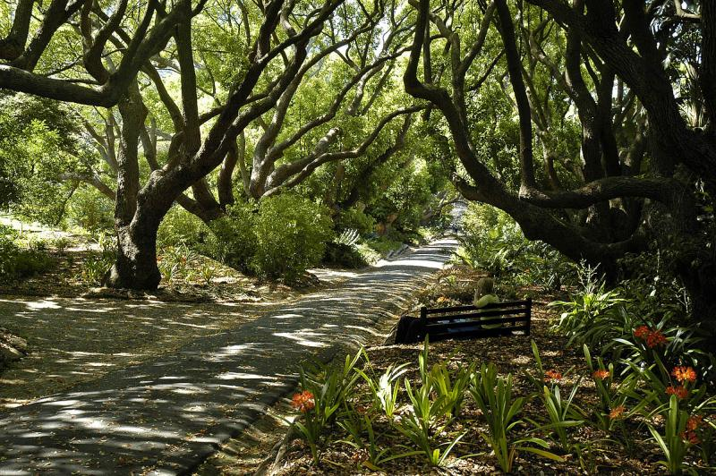 Camphor tree lane, Kirstenbosch National Botanical Garden