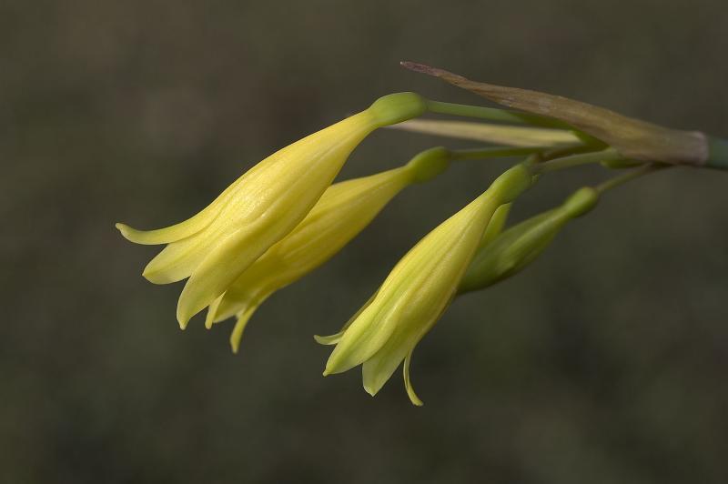 Cyrtanthus flavus, Amaryllidaceae