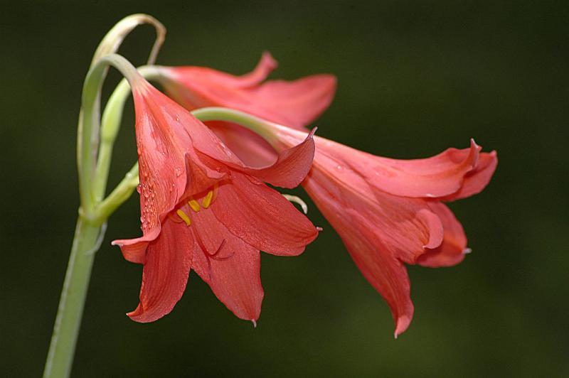 Cyrtanthus sanguineus (Auriol Batten), Amaryllidaceae