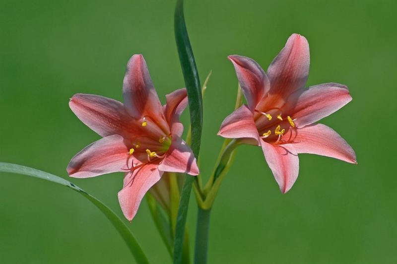 Cyrtanthus sanguineus X clavatus, Amaryllidaceae
