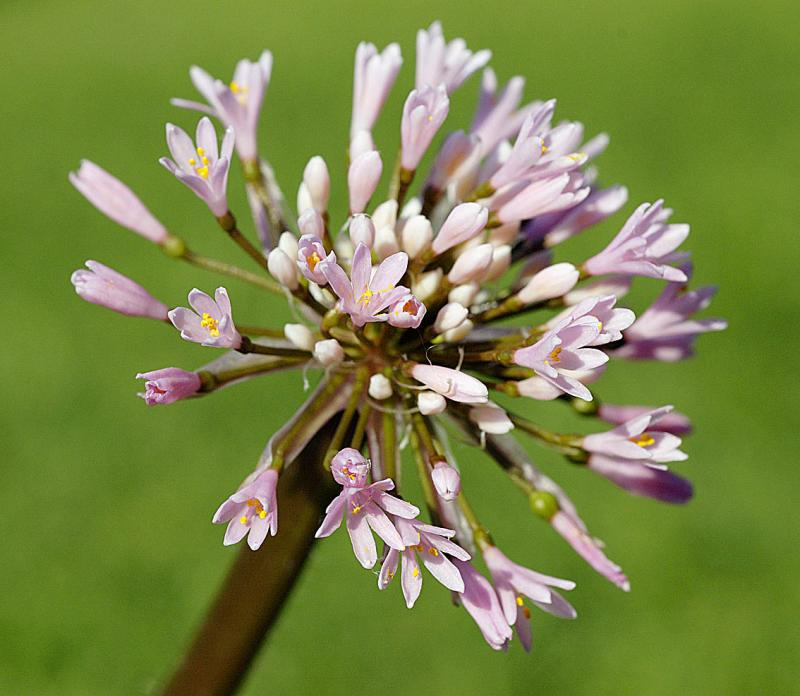 Haemanthus carneus, Amaryllidaceae