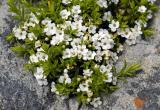 Coleonema alba (Buchu), Rutaceae, Cape Peninsula