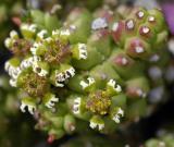 Euphorbia caput-medusae, Euphorbiaceae, Cape Peninsula