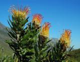 Leucospermum gueinzii (Pincushion), Proteaceae, Jonkershoek, Western Cape