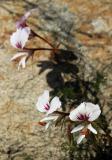 Pelargonium myrrhifolium, Geraniaceae, Jonkershoek, Western Cape
