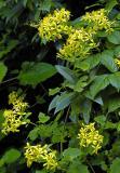 Senecio tamoides, Asteraceae, Woodbush, Limpopo