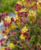Tetragonia fruticosa, Aizoaceae, Cape Peninsula