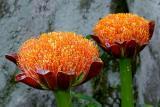 Scadoxus puniceus, Amaryllidaceae, Durban, occurring widespread