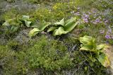 Brunsvigia orientalis foliage, Amaryllidaceae