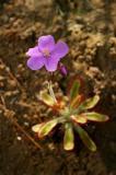 Drosera hilaris, Droseraceae