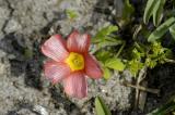 Oxalis obtusa, Oxalidaceae