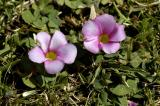 Oxalis purpurea, Oxalidaceae