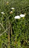 Zantedeschia aethiopica, Araceae