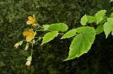 Begonia sutherlandi, Begoniaceae