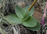 Brunsvigia radulosa (foliage), Amaryllidaceae