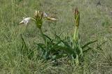 Crinum macowani, Amaryllidaceae