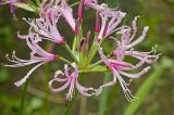 Nerine angustifolia, Amaryllidaceae