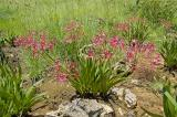 Nerine falcata (Broederstroom form), Amaryllidaceae