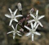 Nerine rehmanni, Amaryllidaceae