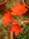 Cyrtanthus elatus, Amaryllidaceae