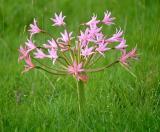 Brunsvigia radulosa, Amaryllidaceae