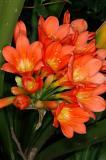 Clivia miniata, Amaryllidaceae
