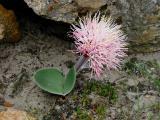 Haemanthus humilis subsp hirsutus, Amaryllidaceae