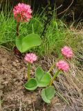 Haemanthus humilis var humilis, Amaryllidaceae