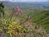 Nerine bowdenii var wellsii, Amaryllidaceae