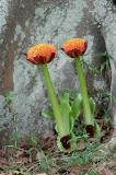 Scadoxus puniceus, Amaryllidaceae