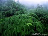 Ferns, Darjeeling, India