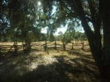 0688-Oak Trees in an Old Corral.jpg