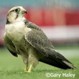 Savannah 'Atlanta Falcon's Mascot'