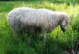 Codman Farm Sheep
