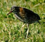 Young Green Heron