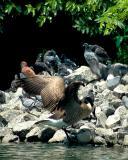 Duck landing on the pigeon island