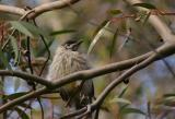Sept 12. Juvenile Red Wattlebird