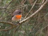 Oct 12. Scarlet robin