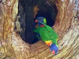 Oct 13. Rainbow Lorrikeets nesting