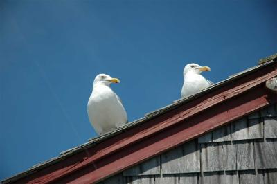 Sitting Gulls