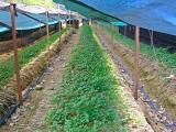 Ginseng field in Goesan area