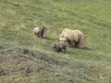 Grizzly Mama Bear with Cubs